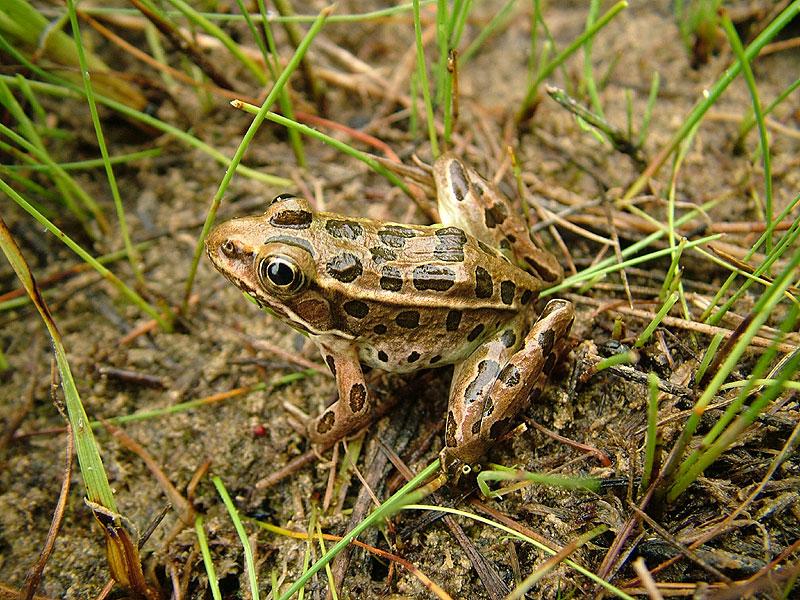 Northern leopard frog eating